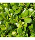 Buxus rotundifolia
