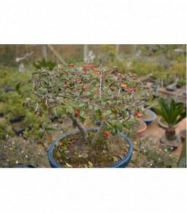 Cotoneastro orizzontale (bonsai)