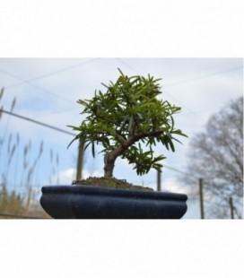 Crataegus pyracantha (bonsai)