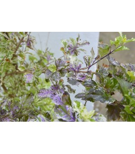 Duranta repens variegata