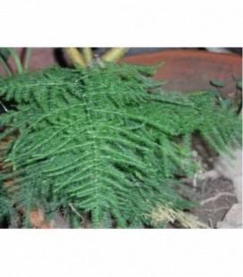 Asparagus plumoso