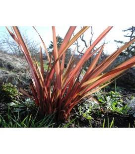 Phormium tenax rubrum