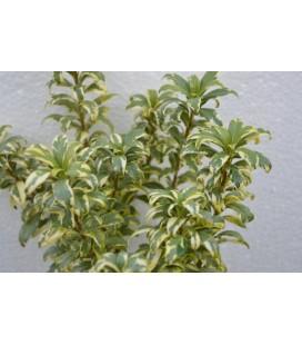 Pittosporo nano variegato