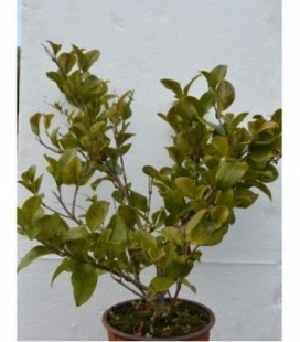 Ligustrum texanum verde