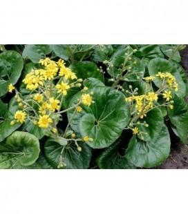 Farfugium jacoponicum giganteum