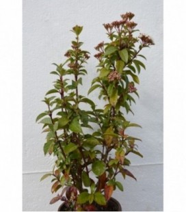 Viburnum tinum